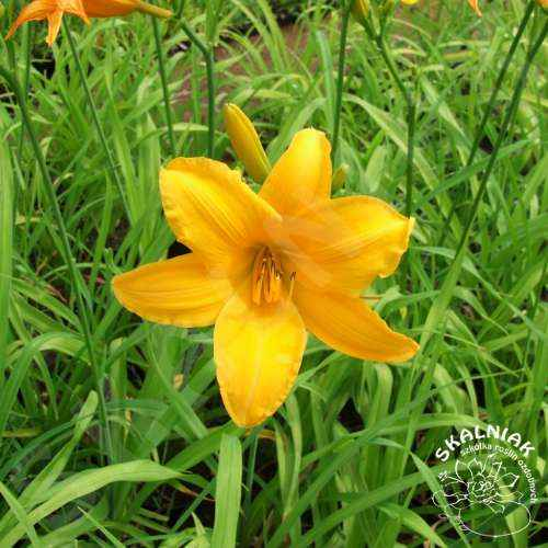 Liliowiec {pomarańczowy}