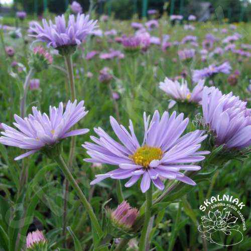 Aster tongolski {fioletowy}
